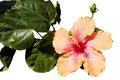 Hibiscus isolated a beautiful in spring Stock Photo