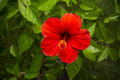 Hibiscus red Royalty Free Stock Photo