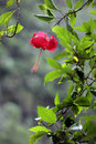 Hibiscus rosa sinensis flower plants that grow in the tropics Royalty Free Stock Images