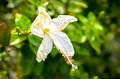 hibiscus rosa sinensis white flower blossom Royalty Free Stock Photo