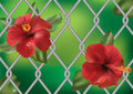 Hibiscus rose against the fence. Stock Photography