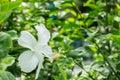 Hibiscus White Royalty Free Stock Photo