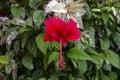 Hibiskus bush med den röda blomman och nyanserade sidor Royaltyfria Bilder