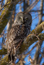 Hibou de gris grand Photos libres de droits