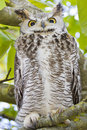 Hibou Lazing dans l'arbre Photos stock