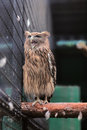 Hibou parlant Photo stock