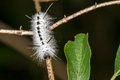 Hickory Tussock Caterpillar Royalty Free Stock Images