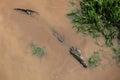 Hidden Crocodile Royalty Free Stock Photo
