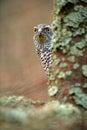Hidden head portrait of goshawk. Detail of bird of prey Goshawk. Bird hawk sitting on the branch in the fallen larch forest during