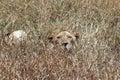 Hidden Lion