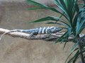 Hidden lizard a large striped lazing on a log behind a tropical tree Stock Photos