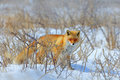 Hidden Red Fox, Vulpes vulpes, at snow winter. Wildlife scene from nature. Cold winter with beautiful fox. Orange fur coat animal Royalty Free Stock Photo