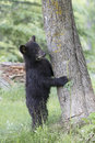 Hide and seek black bear cub sneaking behind tree while standing up Royalty Free Stock Photos