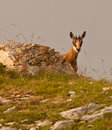 Hide and Seek of a Chamois Stock Photos