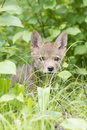 Hide and seek young coyote pup hiding behind grass looking curious Stock Photo