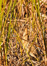 Hiding Bittern Stock Images