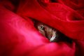 Hiding cat in red blanket looking at camera Royalty Free Stock Photography