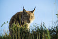 Hiding lynx an eurasian in the bushes Stock Photos