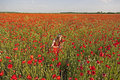 Hiding playing hide and seek in a poppy field Stock Image