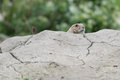 Hiding prairie dog genus cynomys behind a hillock while being alert Stock Photos