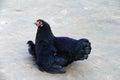 Higgledy Piggledy, My black hen! 2 Royalty Free Stock Photo
