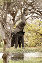 On a high african elephants trunks end in two opposing lips enabling them to pick leaves from trees Stock Photo