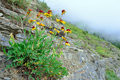 High alpine tundra flowers growing on the rock Royalty Free Stock Photo