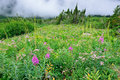 High alpine tundra flowers and heavy fog Royalty Free Stock Photo