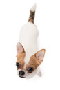High angle shot of chihuahua looking at camera on the white background in the studio Royalty Free Stock Photo