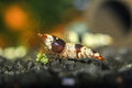 High breeding shrimp a beautiful portrait of a Royalty Free Stock Photography