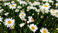 High bright field of daisies Royalty Free Stock Photo