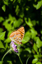 High Brown Fritillary Royalty Free Stock Photo