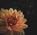 High Contrast Dahlia Flower Royalty Free Stock Photo