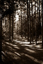 High Contrast Sepia Toned Pine Forest Path Royalty Free Stock Photos