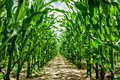 High corn crops on a row Stock Images