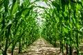High corn crops Royalty Free Stock Photo