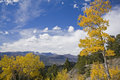 High country Aspen Royalty Free Stock Photo