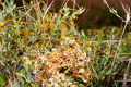 High dodder (Cuscuta campestris) Royalty Free Stock Photo