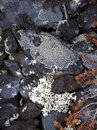 High elevation life lichens on rock in mountains Royalty Free Stock Image