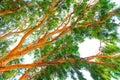 High eucalyptus tree with lush foliage Stock Image