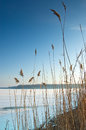 High grass on the edge of a frozen lake Royalty Free Stock Photo