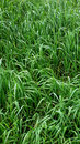 High grass Royalty Free Stock Photo