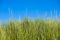 High green lush elastic stems grass on sky background Royalty Free Stock Photo