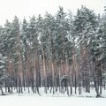 high green pines covered with snow Royalty Free Stock Photo