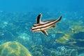 High hat fish in intermediate phase caribbean sea pareques acuminatus Stock Images