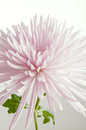 High key pink chrysanthemum detail of flower isolated on white Royalty Free Stock Photography