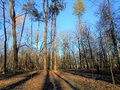 High pines in the park. Royalty Free Stock Photo
