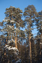 High pines under blue cloudless sky Royalty Free Stock Photos