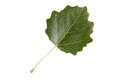 High resolution green leaf of white poplar tree isolated on background Stock Photography