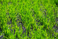 High resolution macro shot grass Royalty Free Stock Images
